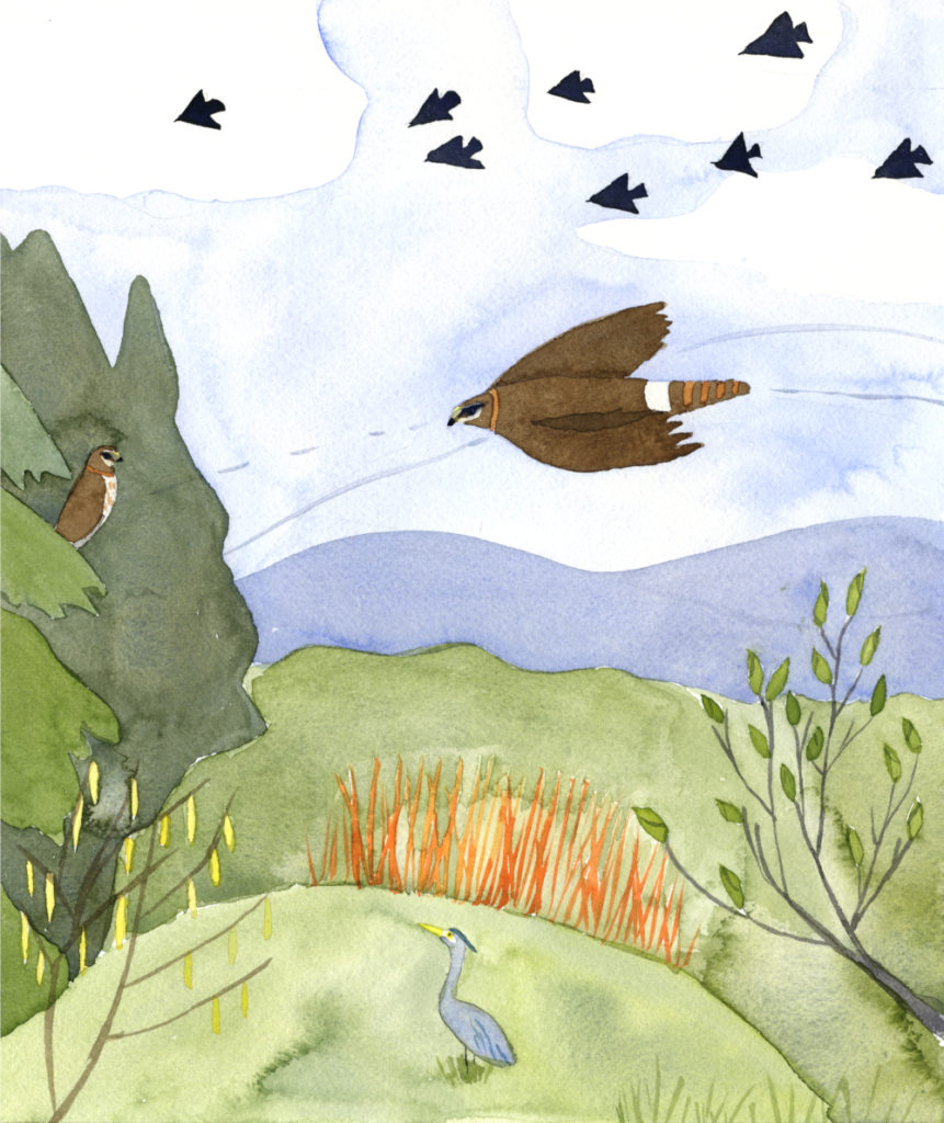 watercolor painting of a Northern Harrier flying over Bald Hill Natural Area in spring by artist Alexandra Schaefers