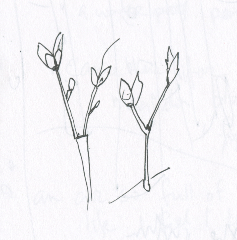 sketchbook drawing of spring maple buds by Alexandra Schaefers