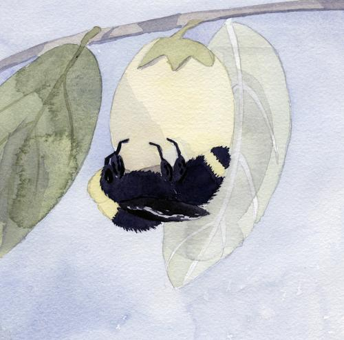 yellowfaced bumble bee and persimmon blossom